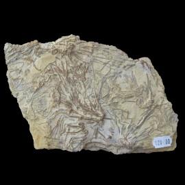 Chariocrinus andrae