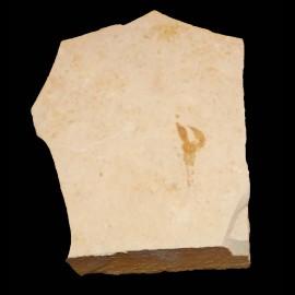 Eryma modestiformis