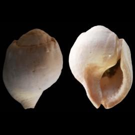 Gyrineum (bursa) marginatum