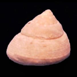 Gibbula leucophaea