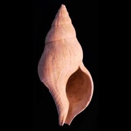 Buccinum corneum