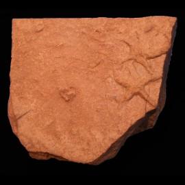 Asteriacites lumbricalis