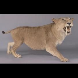 Smilodon naturalisé (saber cat)