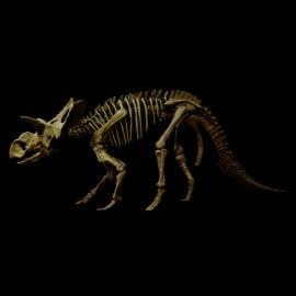 albertoceratops nesmoi (squelette)
